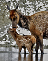 Elk Cow and Calf - Yellowstone River
