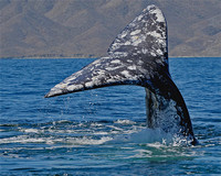 Gray Whale - Magdalena Bay, Mexico