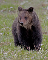 Grizzly Yearling