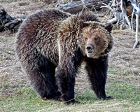 Grizzly - Yellowstone NP