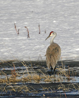 Sand Hill Crane - Yellowstone NP