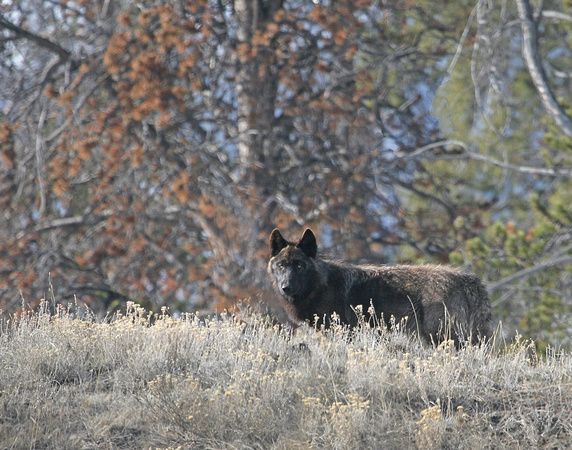 Black Wolf - Druid Peak Pack, Yellowstone NP