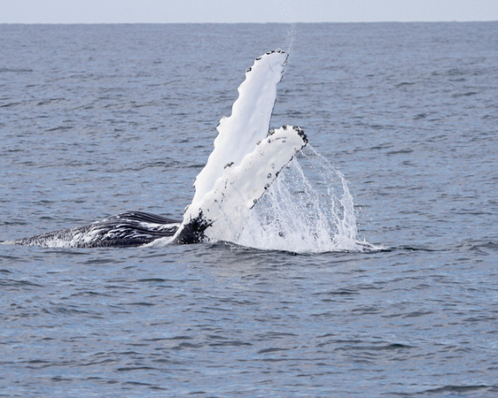 The Humpback Whales of Stellwagon Bank