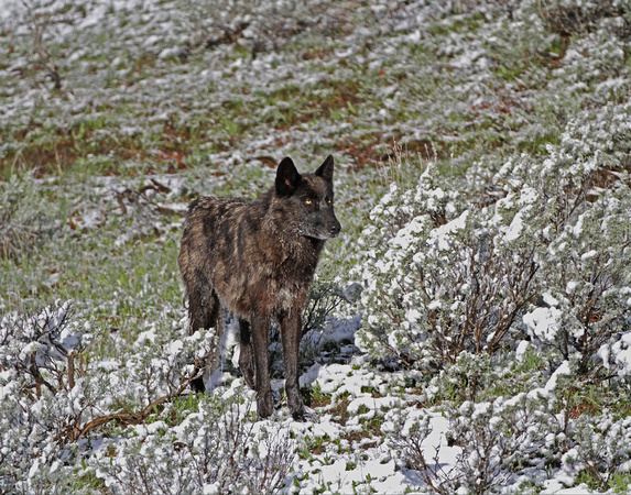 Black Wolf - Canyon Pack