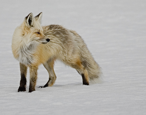 Red Fox - Yellostone NP