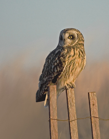 Short-eared Owl - Charlestown Beach, RI