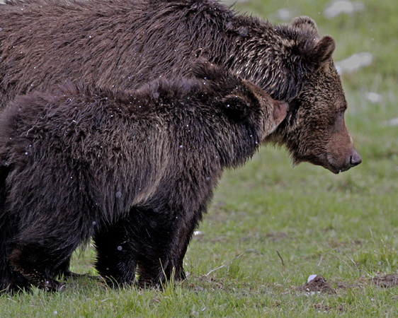 Grizzly Love - Sedge Bay