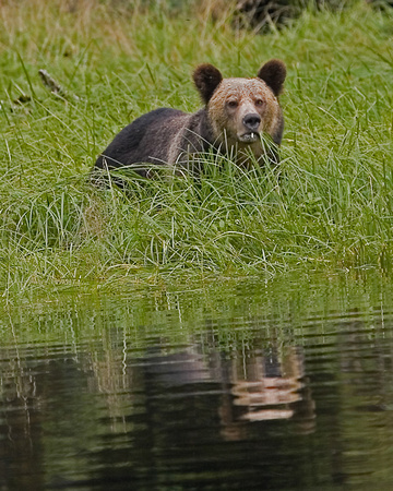 Grizzly Bear - Great Bear Rainforest, BC