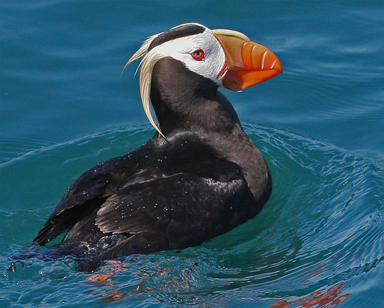 Tufted Puffin - Kenai Fjords NP