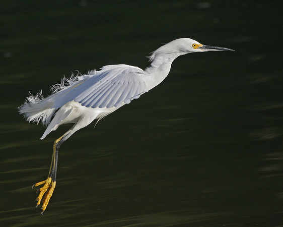 Snowy Egret - Pt. Reyes National Seashore, Ca