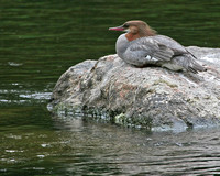 Common Merganser - Farmington River, Ct
